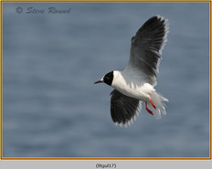 little-gull-17.jpg