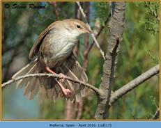 cettis-warbler-17.jpg