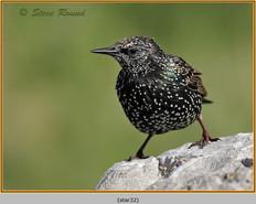 starling-32.jpg
