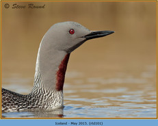 red-throated-diver-101.jpg
