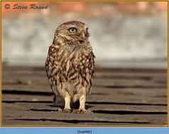 little-owl-46.jpg