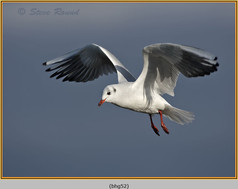 black-headed-gull-52.jpg