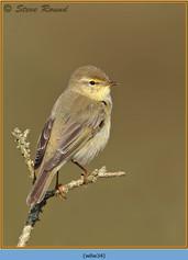 willow-warbler-34.jpg
