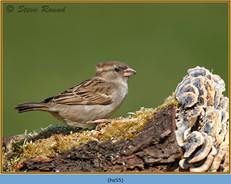 house-sparrow-55.jpg