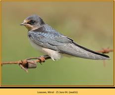 swallow-16.jpg