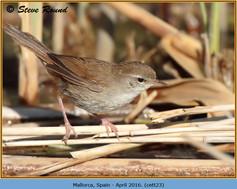 cettis-warbler-23.jpg
