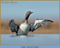 red-throated-diver- 95.jpg