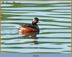 black-necked-grebe-14.jpg