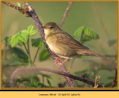 grasshopper-warbler-14.jpg