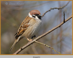 tree-sparrow-21.jpg