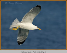 yellow-legged-gull-16.jpg