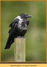 hooded-crow-05.jpg