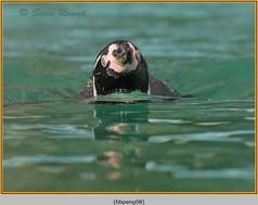 humboldt-penguin-08c.jpg