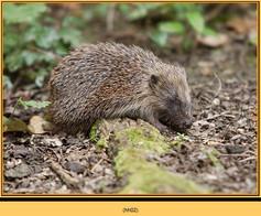 hedgehog-02.jpg