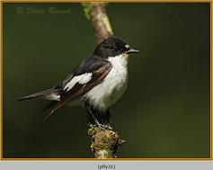 pied-flycatcher-31.jpg