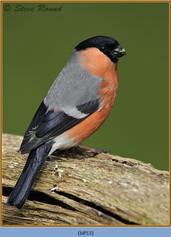 bullfinch-53.jpg