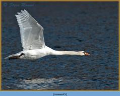 mute-swan-45.jpg