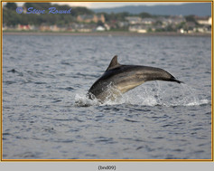 bottlenose-dolphin-09.jpg