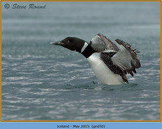 great-northern-diver-50.jpg