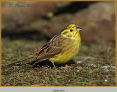yellowhammer-20.jpg