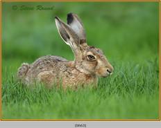 brown-hare-63.jpg