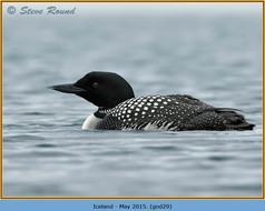 great-northern-diver-29.jpg