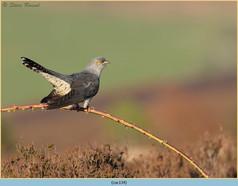 cuckoo-134.jpg