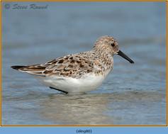 sanderling-80.jpg