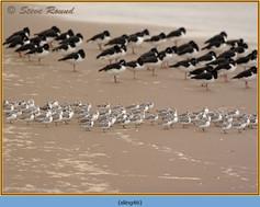 sanderling-46.jpg