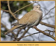 collared-dove-03.jpg