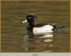 tufted-duck-37.jpg