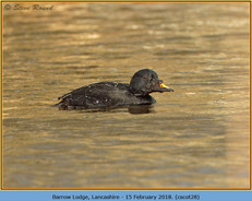 common-scoter-28.jpg