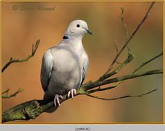 collared-dove-16.jpg