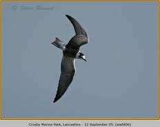 white-winged-black-tern-06.jpg