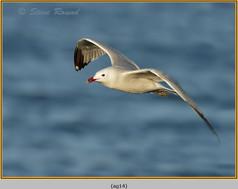 audouin's-gull-14.jpg