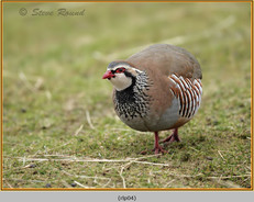 red-legged-partridge-04.jpg