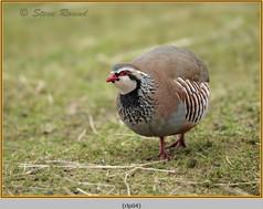 red-legged-partridge-04.jpg