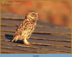 little-owl-38.jpg