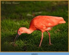 scarlet-ibis-(c)-02.jpg