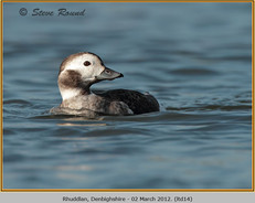 long-tailed-duck-14.jpg