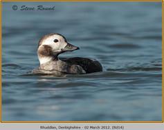 long-tailed-duck-14.jpg