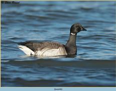brent-goose-40.jpg