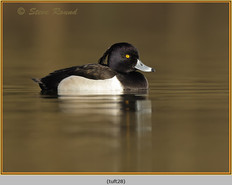 tufted-duck-28.jpg