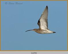 curlew-56.jpg