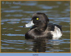 tufted-duck-50.jpg