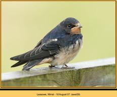 swallow-29.jpg