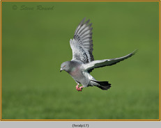 feral-pigeon-17.jpg