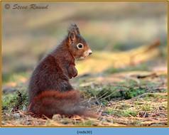 red-squirrel-30.jpg