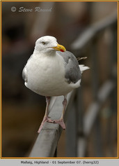 herring-gull-32.jpg