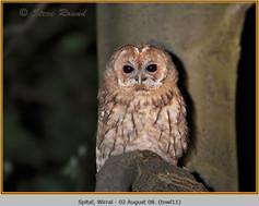 tawny-owl-11.jpg